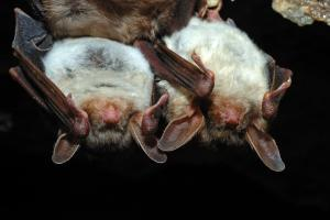 Virginia Professional Wildlife Removal Services, LLC 2-bats-hanging-header-image