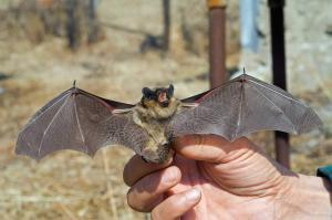 Virginia Professional Wildlife Removal Services, LLC bat-in-hand