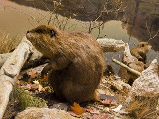 Beaver Removal at Virginia Professional Wildlife Removal Services, LLC