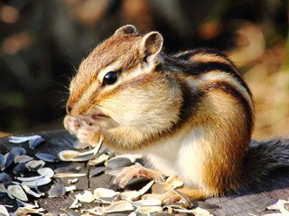 Chipmunk Removal at Virginia Professional Wildlife Removal Services, LLC