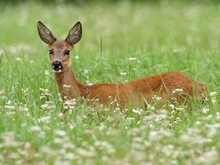 Deer Removal at Virginia Professional Wildlife Removal Services, LLC
