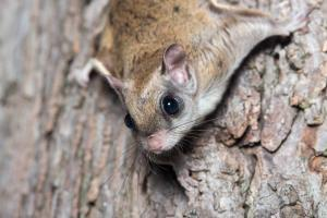 Virginia Professional Wildlife Removal Services, LLC flying squirrel image