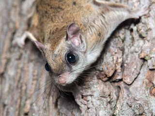 Flying Squirrel Removal at Virginia Professional Wildlife Removal Services, LLC