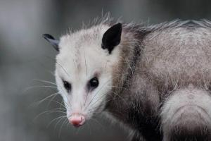 Virginia Professional Wildlife Removal Services, LLC opossum-header-image