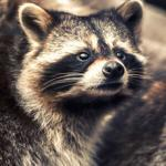 charlottesville raccoon removal