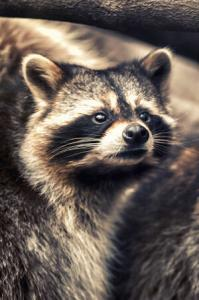 Virginia Professional Wildlife Removal Services, LLC raccoon-cell-header