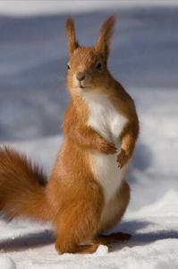 Virginia Professional Wildlife Removal Services, LLC red-squirrel-cell-header-middle image