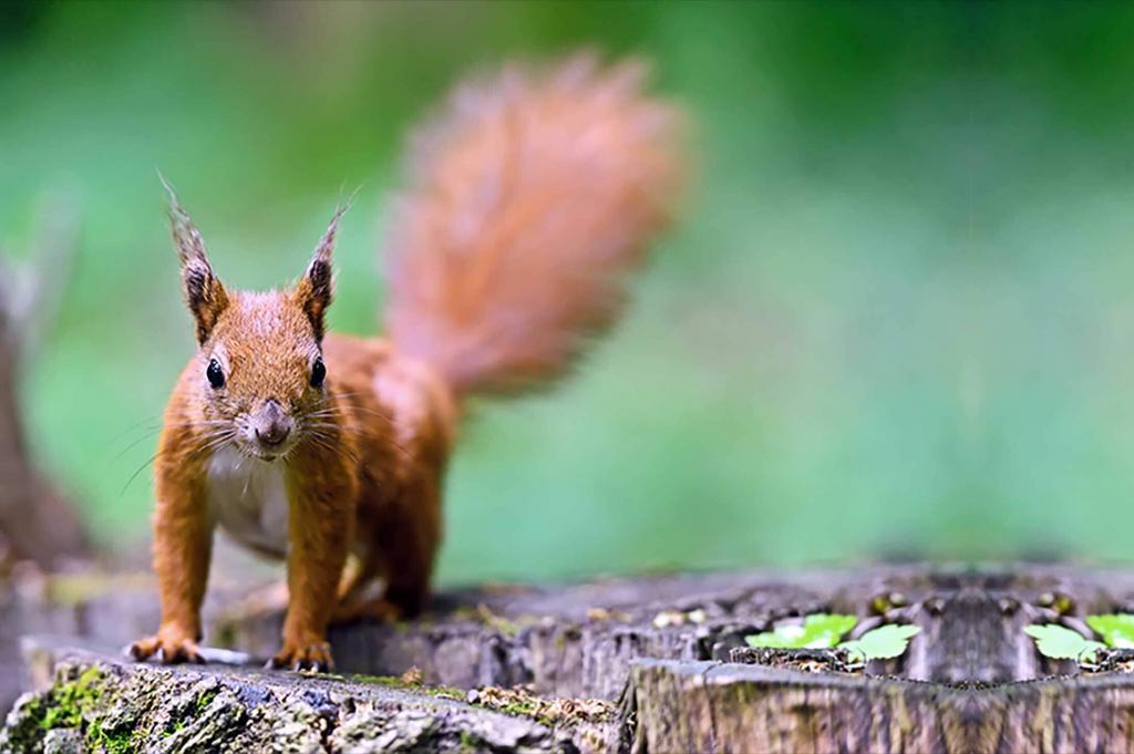 Virginia Professional Wildlife Removal Services, LLC red-squirrel-on-log-header-image