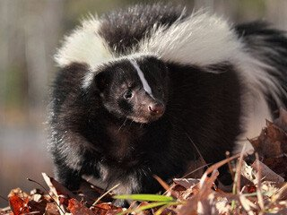 Skunk Removal at Virginia Professional Wildlife Removal Services, LLC