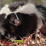 skunk removal in charlottesville va