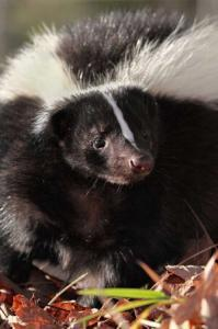 Virginia Professional Wildlife Removal Services, LLC skunk_cell_header