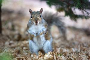 Virginia Professional Wildlife Removal Services, LLC grey squirrel image