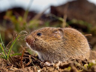 Vole Removal at Virginia Professional Wildlife Removal Services, LLC