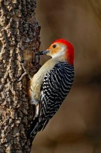 Virginia Professional Wildlife Removal Services, LLC woodpecker-cell-phone-headers