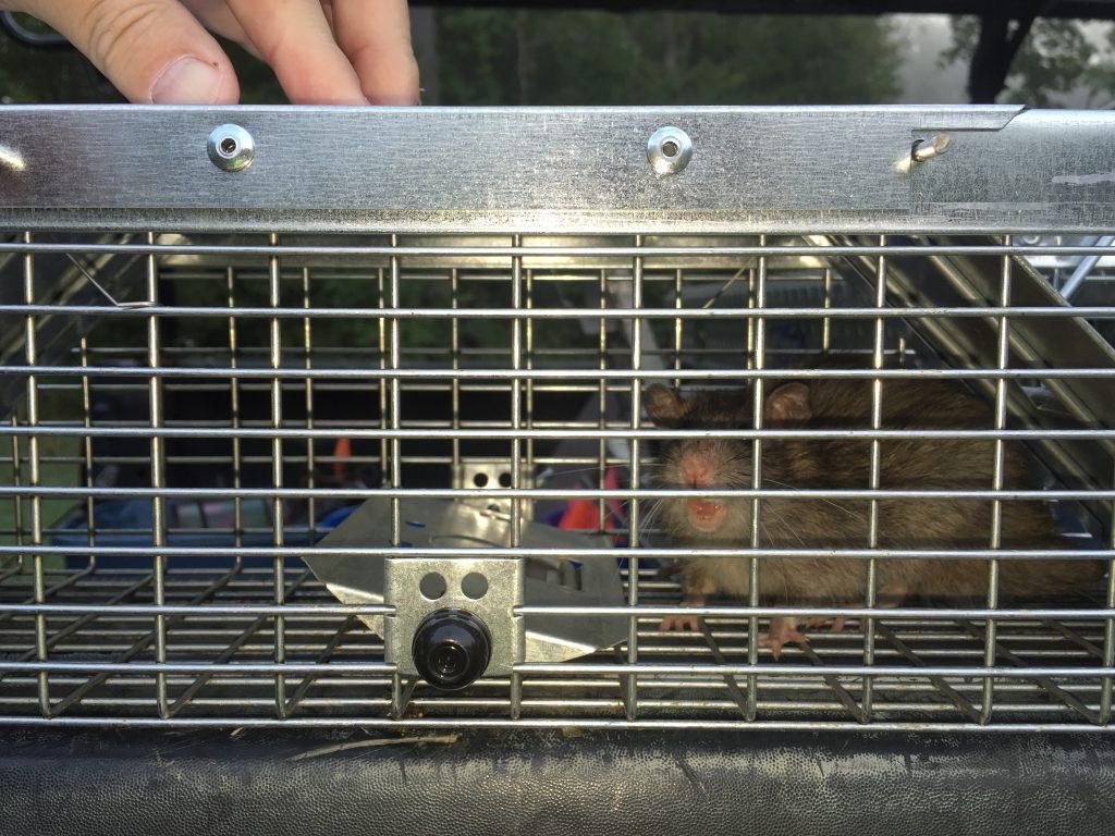 rat caught in cage