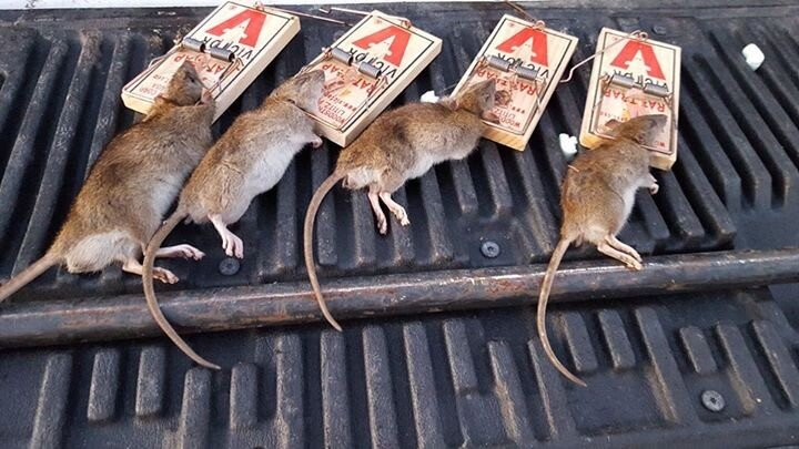 rats in snap traps