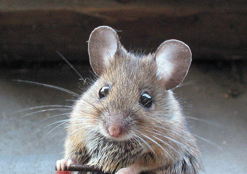 mouse looking straight